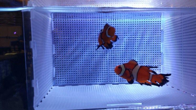Sustainable-Aquatics-Longfin-Clownfish
