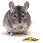 chinchilla-eating-300x300