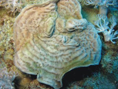 coral saudi
