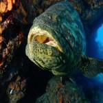 Goliath Grouper Eats Shark Whole!