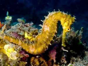 1024px-Hippocampus_hystrix_(Spiny_seahorse)_yellow
