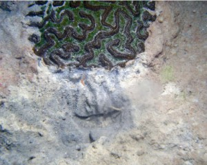 Florida Department of Environmental Protection photo showing Caribbean species Colpophyllia natans under attack by sedimentation.