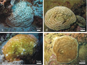 coral new species article large