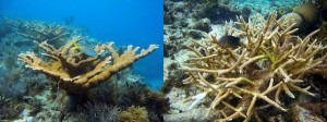 elkhorn-staghorn-coral_sefsc