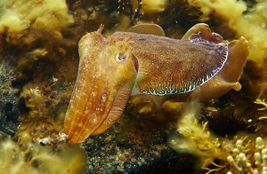 giant-cuttlefish-sm