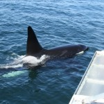killer-whale-bay-of-fundy