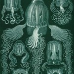 250px-Haeckel_Cubomedusae