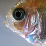 Larval Rearing of the Purple Masked Angelfish (Paracentropyge venusta) Using Only Cultured Food