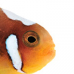 ORA White Bonnet Clownfish Now Available