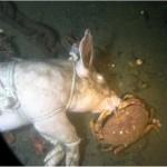 carcass-crab