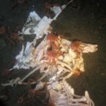 pig-carcass