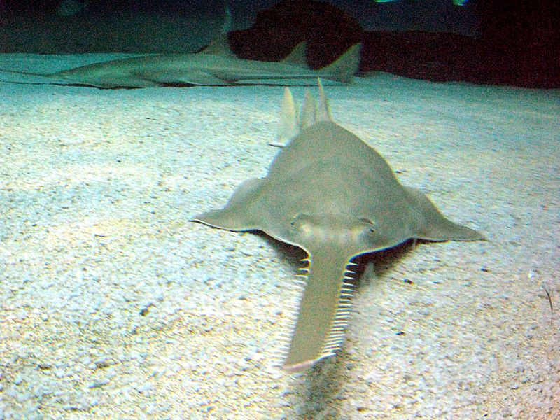 sawfish 1