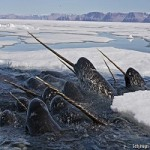 What Do You Think A Narwhal's Tusk Is Really For?