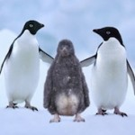 Adélie Penguins Are Filthy, Immoral Flightless Birds – And Seals Don't Have Clean Hands Either