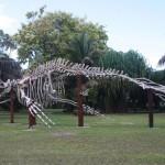 Humpback-Whale-Skeleton-Desroches-Island1