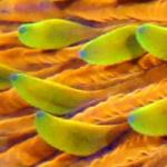 Orange Fungia Plate Coral Timelapse Feeding
