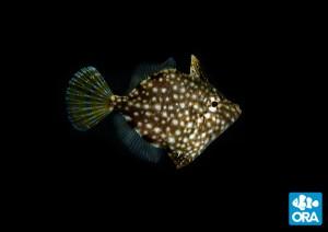 reefs.comORAfile