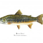 Brook_Trout__29736.1411549113.1280.1280