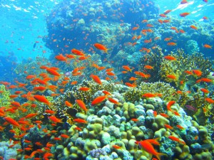 Coral_reef_in_Ras_Muhammad_nature_park_(Iolanda_reef)