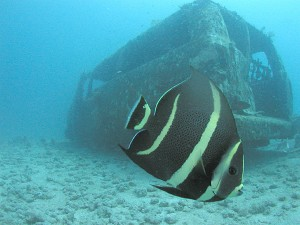 Juvenile_French_Angelfish_near_a_sunken_van,_St._Kitts