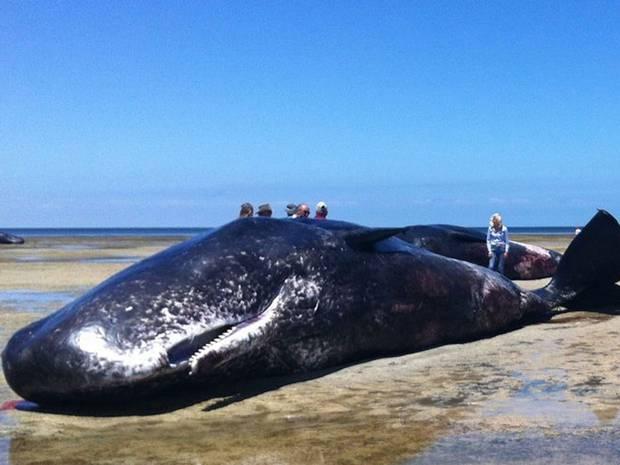 Seven-dead-whales