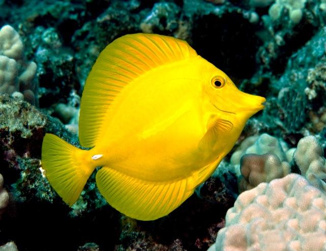 Snorkel bob friend foe or lost soul for Yellow saltwater fish