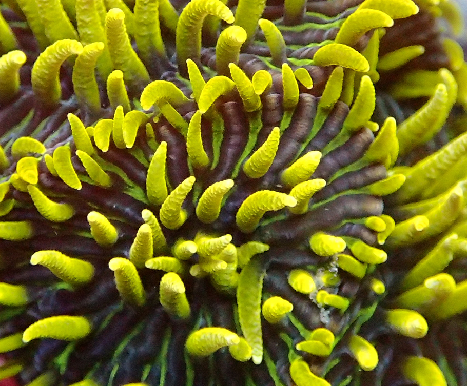 The intense green striping, dense tentacles, and clustering polyps are feature of the X2 line