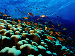 mark-webster-school-of-anthias-over-brain-coral-red-sea-ras-mohammed-national-par
