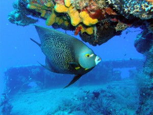 pennekamp-french-angelfish