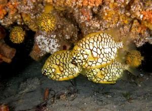 pineapplefish2