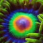 Top 10 Zoanthids and Palythoas for Reef Tanks
