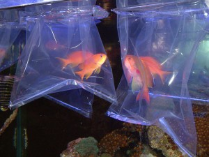 anthias6