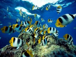 butterflyfish-undersea_18354_990x742