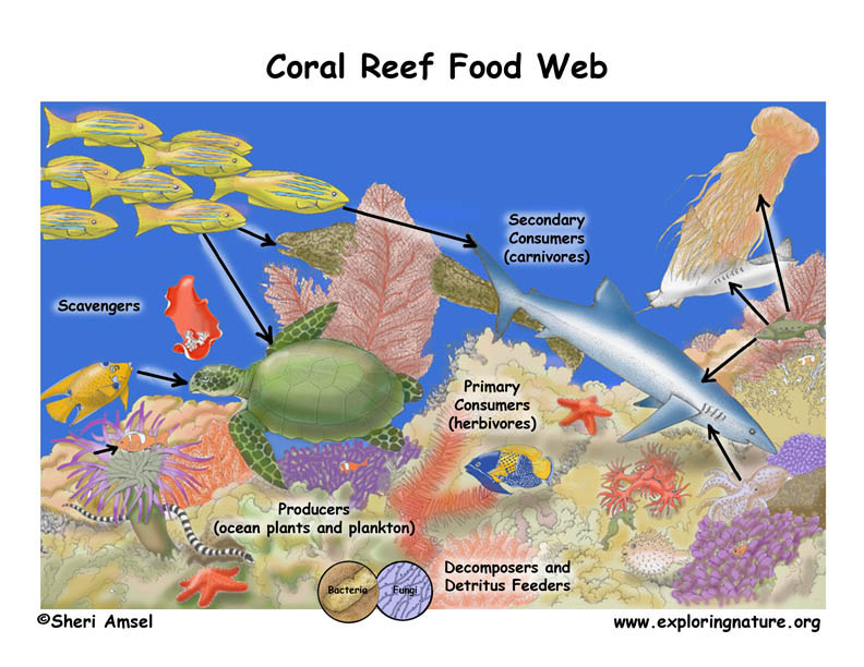 a description of the essential role of coral reefs in our ecosystem New research on coral reefs coral reefs highlight the key role of existing biodiversity for climate our example of the heat tolerant coral.