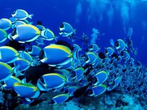 ocean seas underwater saltwater fish powder blue tang fish 1600x1200 wallpaper_wallpaperswa.com_67