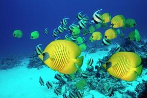 schoolofbutterflyfishswimmingontheseabedgeorgettedouwma