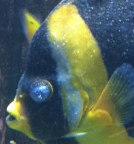 a ruthless fish killer treating and diagnosing amyloodinium reefs com
