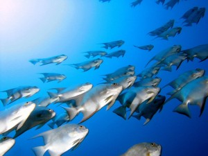 vista-wallpaper-fish-school