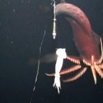 070214-giant-squid_big