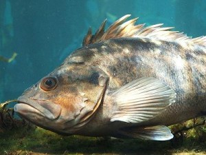 Rockfish by Tewy