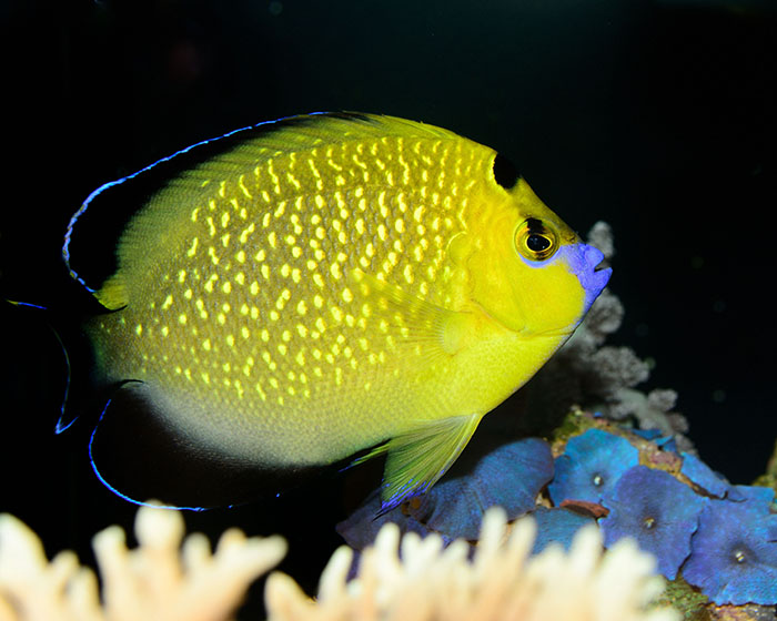 the goldflake angel a true beauty reefs com