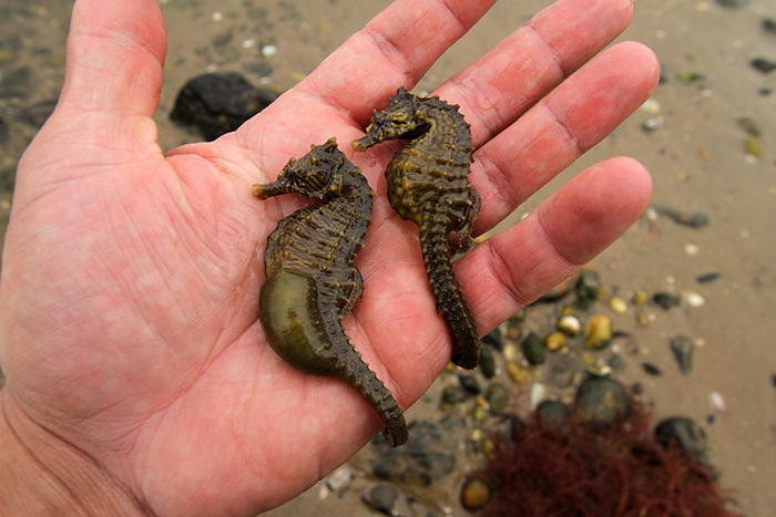 A pair of wild-caught seahorses with pregnant male. Photo by Christopher Paparo.