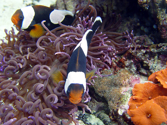 Amphiprion polymnus pair guarding their spawn in the Anemone Tank at the Long Island Aquarium. Not surprisingly, spawns taken from reef tanks are often healthier than those produced in broodstock systems. The trade-off is they can be very difficult to remove.