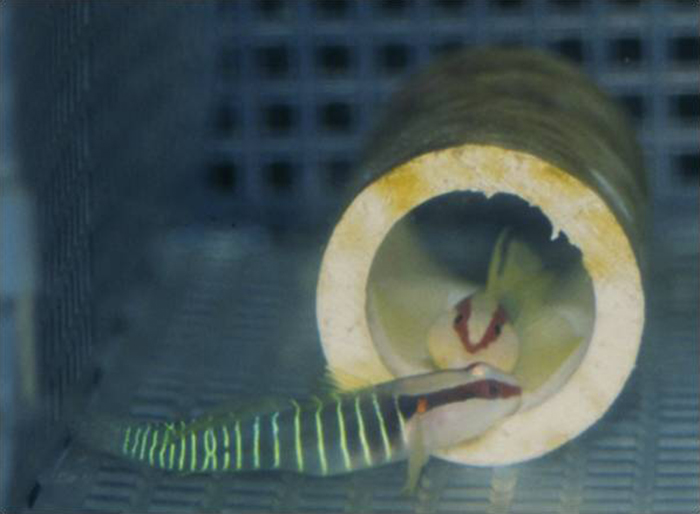 Developing embryo in the egg of a greenbanded goby Tigrigobius multifasciatum.