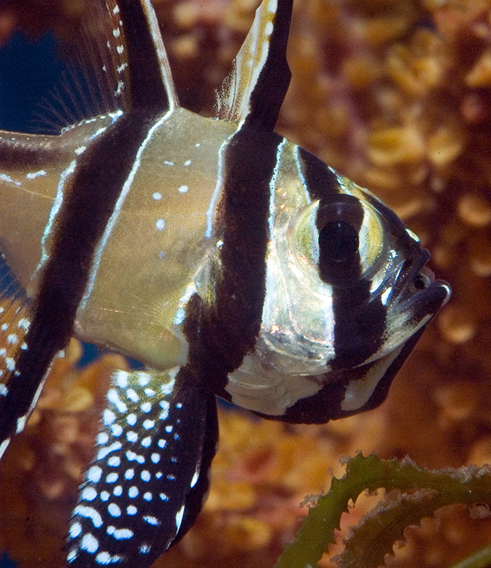 Captive bred fish like this Banggai cardinalfish, or designer clownfish are perfect for beginners since they were not taken out of the wild. Photo by Rich Ross.