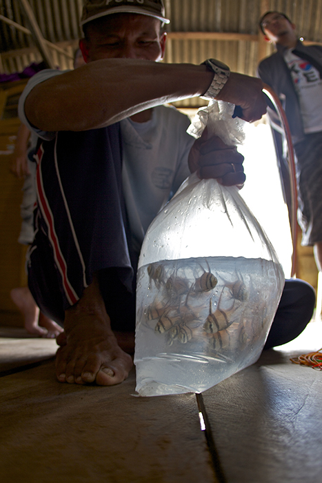 Many of the fisheries in Indonesia operate without sufficient transparency and utilize unsustainable, illegal and unethical practices. The Banggai cardinalfish fishery is the highest profile fishery in Indonesia with well-documented problems. Photo by Ret Talbot.