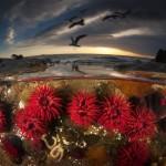 waratah_anemones