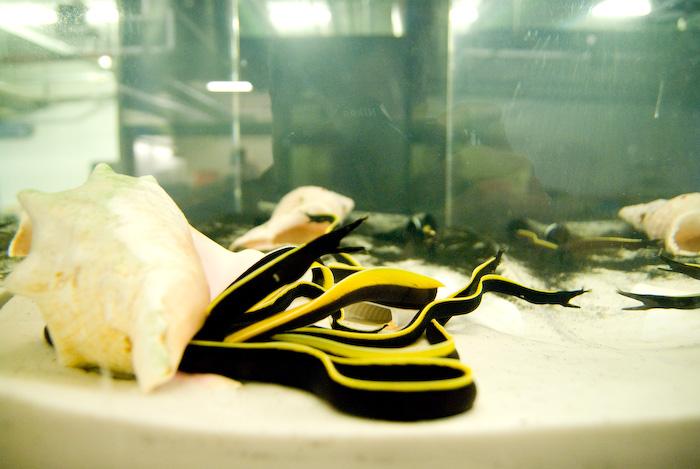 Ribbon Eels awaiting display.