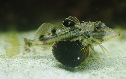 There are many fish found locally. Some adapt to captivity quite well, many others do not.  Pictured is the Northern, Prionotus carolinus which requires special care.