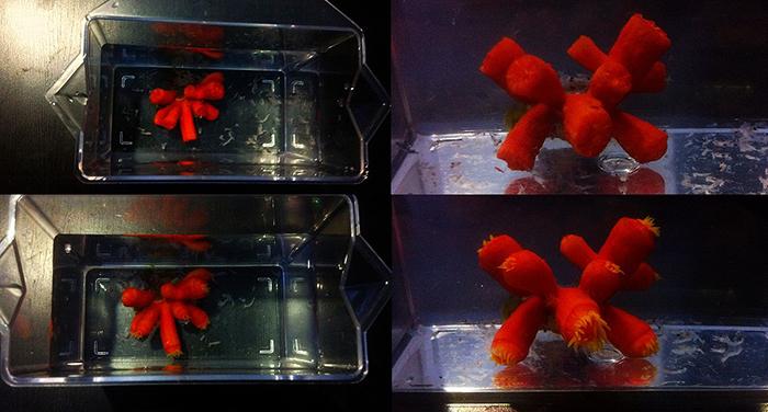 """""""Australian Tubastraea sp."""" going through the """"Tupperware Method."""""""